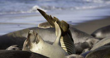 Northern elephant seals at Point Piedras Blancas