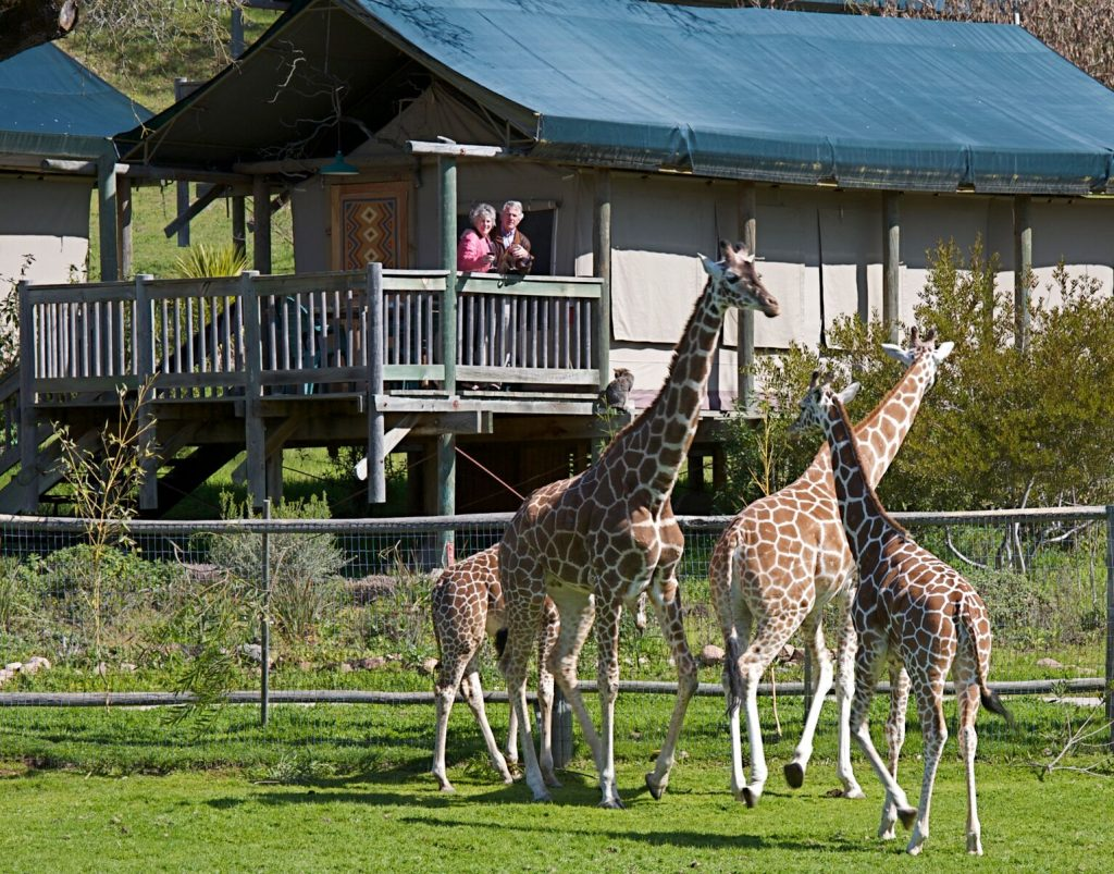Luxurious safari-style tents and an African wildlife experience at Safari West in the California Wine Country.
